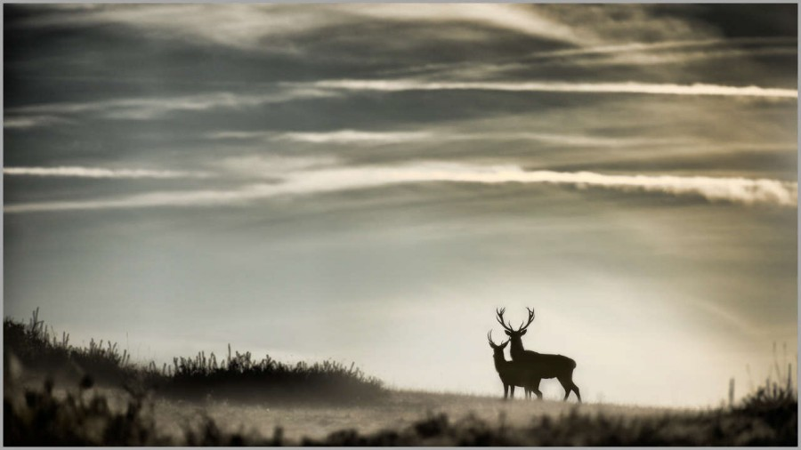 Red deer stags at dusk in backlight in France.