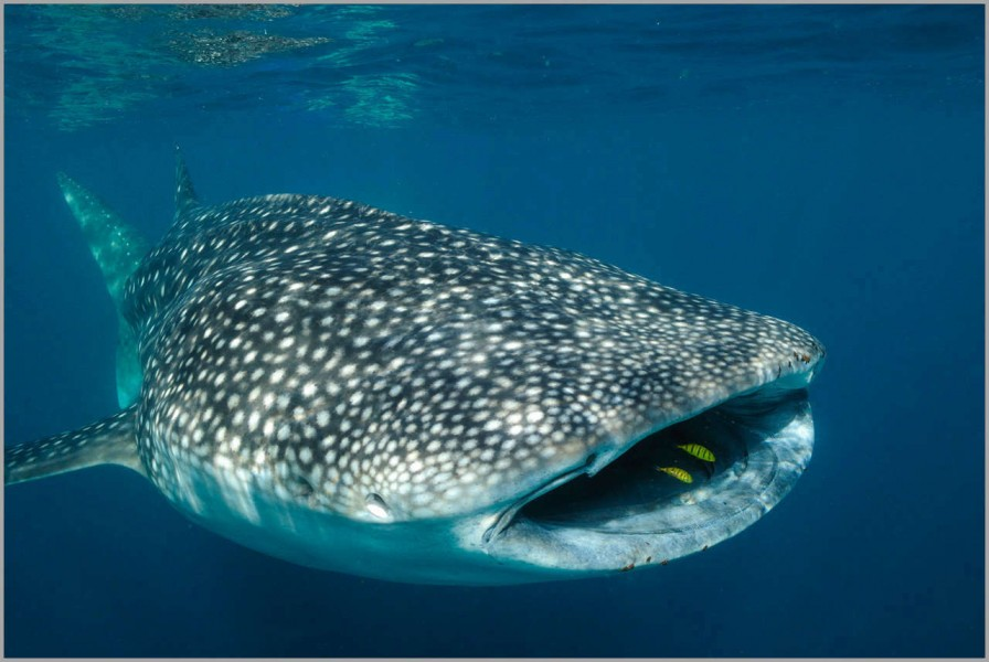 Whale shark in Tadjourah Bay in Djibouti.