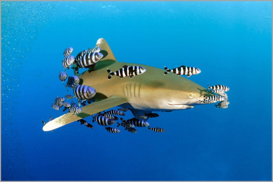 Oceanic whitetip shark (longimanus) in the Red Sea in Egypt.