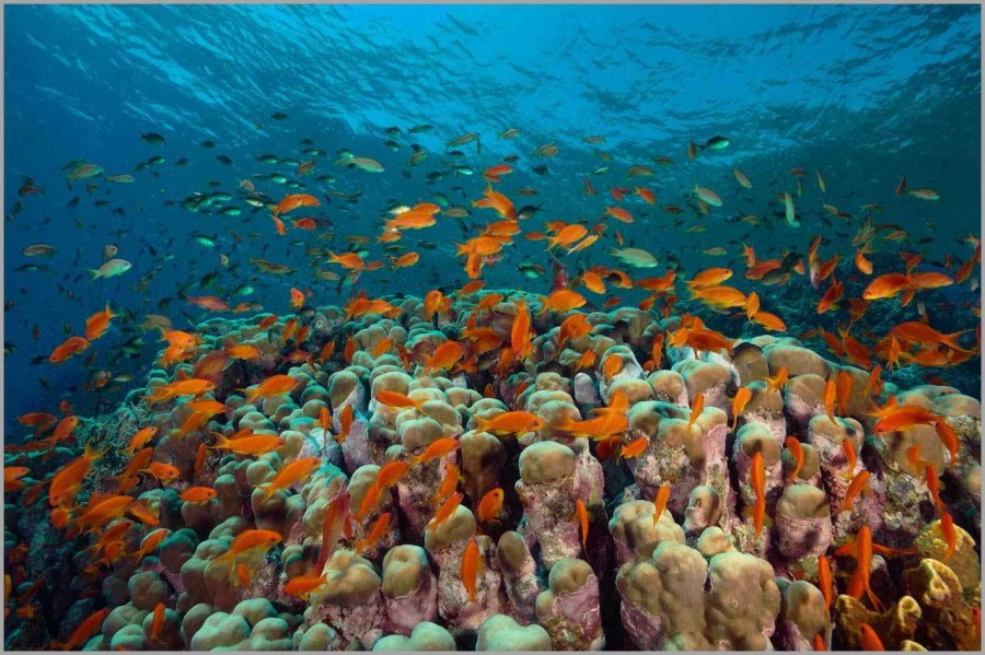 School of anthias above a coral colony in the Red Sea in Egypt.