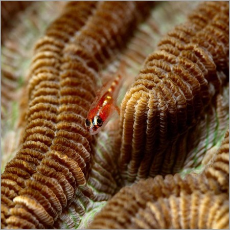 Goby on a coral colony in the Red Sea in Egypt.