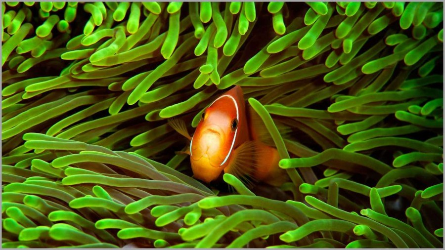 Clownfish in the Maldives in the Indian Ocean.