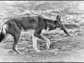 Ethiopian Wolf in black and white