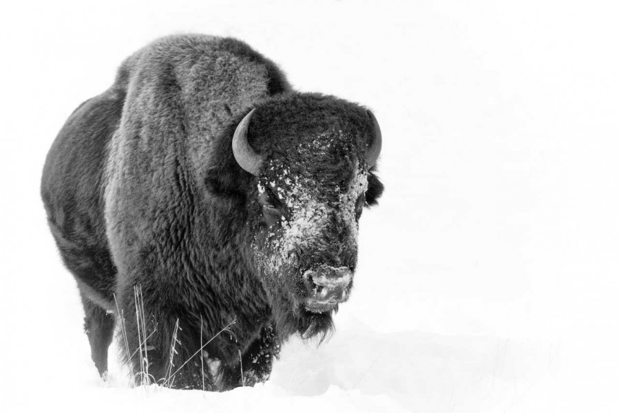 Bison in the snow in Yellowstone in Winter.