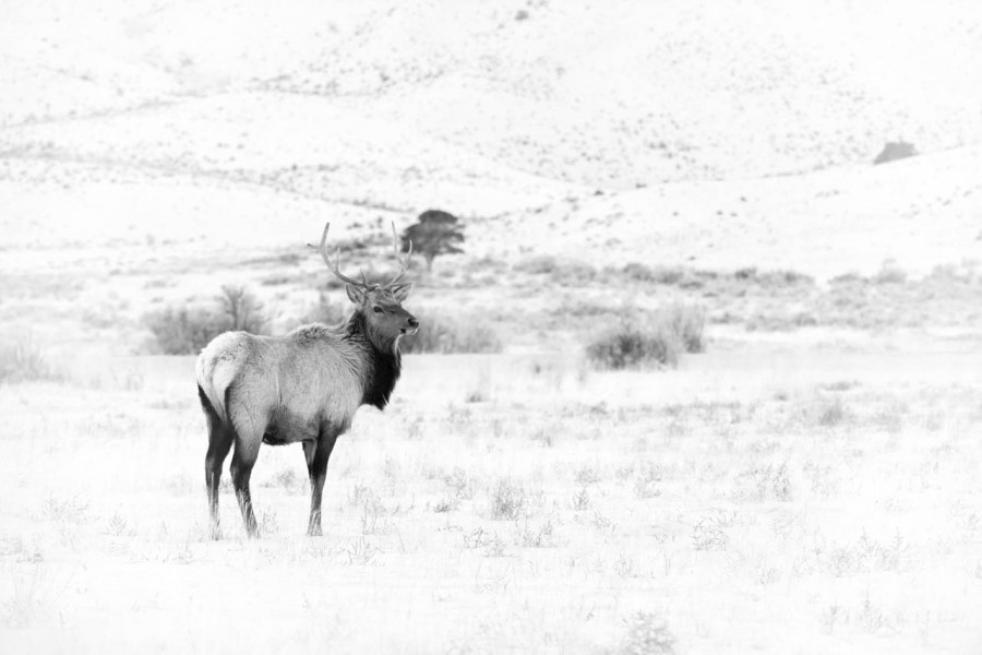 Wapiti stag in the snow in Yellowstone in Winter.