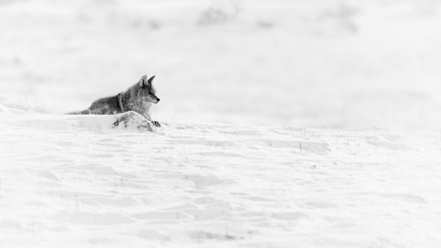 Coyote in the snow in Yellowstone in Winter.