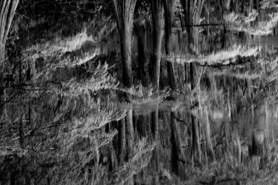 Caddo Lake Bald Cypress in Texas in black and white.