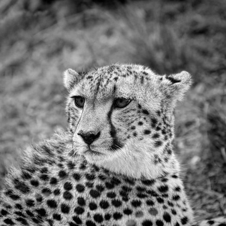 Wildlife photograph in black and white in low key.