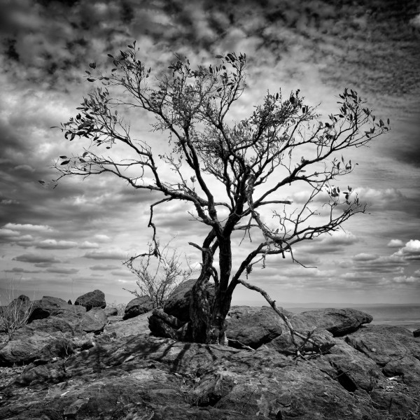 Tree in backlight in Kenya in black and white.
