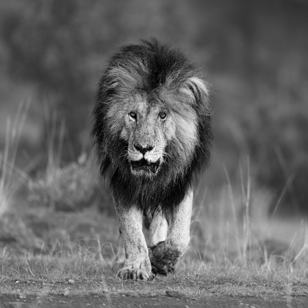 Lion au Lion in Kenya in black and white.Kenya en noir et blanc.