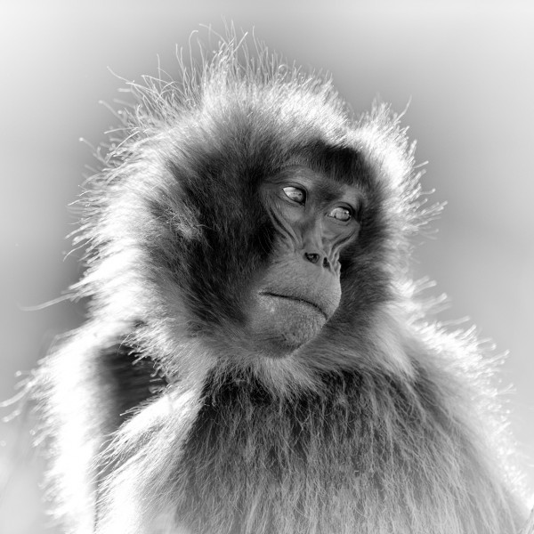 Gelada in Ethiopia in black and white.