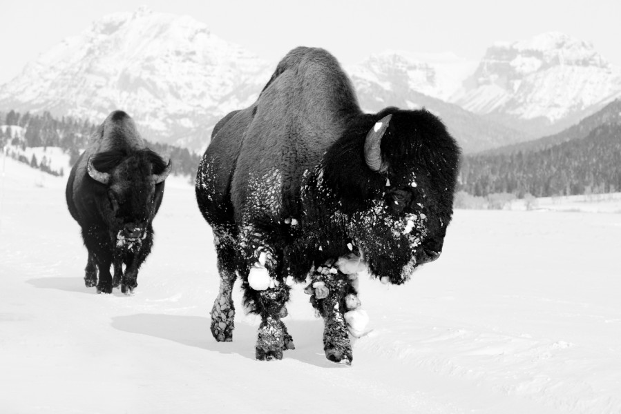 Bison in Yellowstone in the USA in black and white.