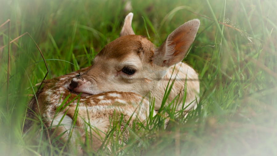 Fallow deer fawn in the grass in France.