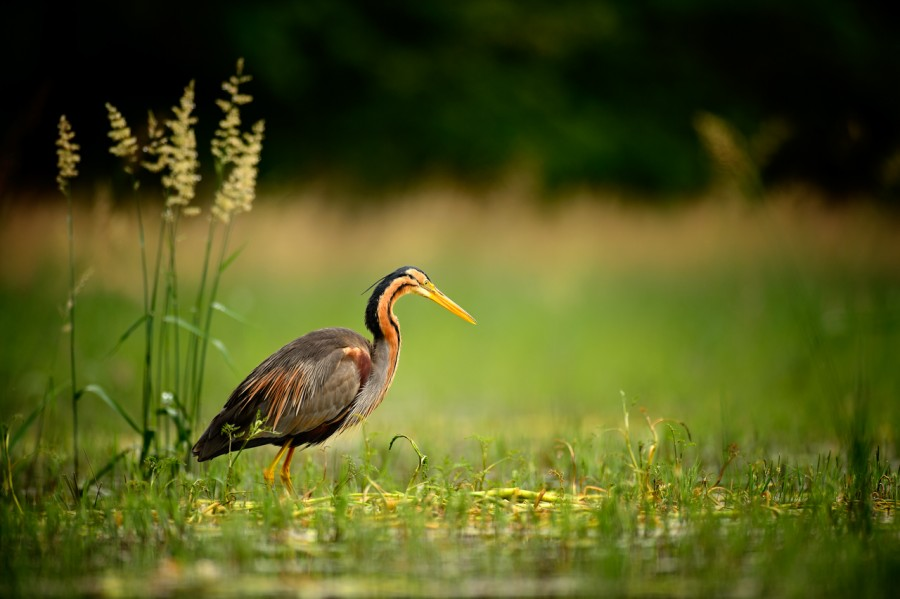 Purple heron on a pond in Dombes in France.