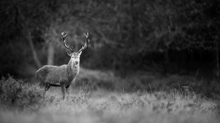 Photo in black and white of a red deer stag during the rut by Am