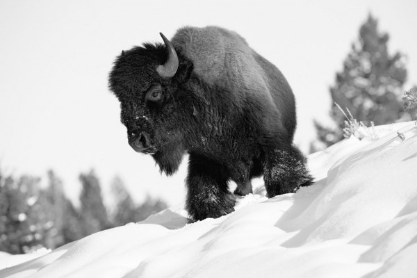 Bison in Yellowstone in the snow in black and White.