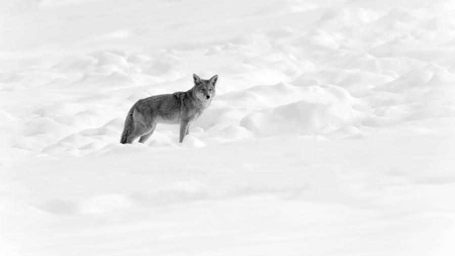 Coyote in Yellowstone in the snow in black and White.