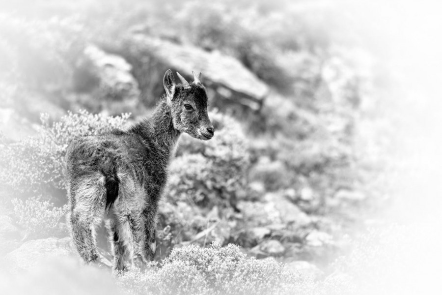 Walia ibex in black and White.