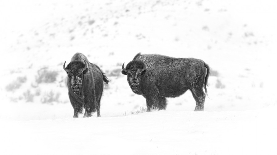Bisons in Yellowstone in the snow in black and White.