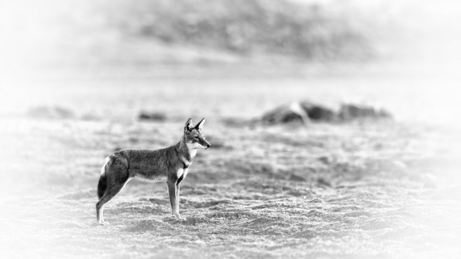 Ethiopian wolf in Ethiopia in black and White.