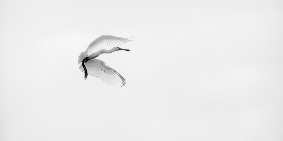 Eurasian spoonbill in Dombes in black and white.
