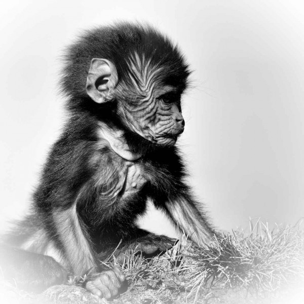 Baby gelada in Ethiopia in black and white.