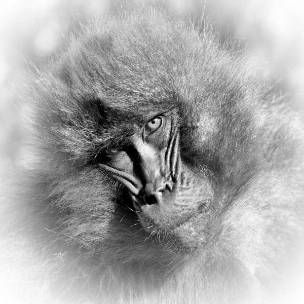 Female gelada in Ethiopia in black  and white.