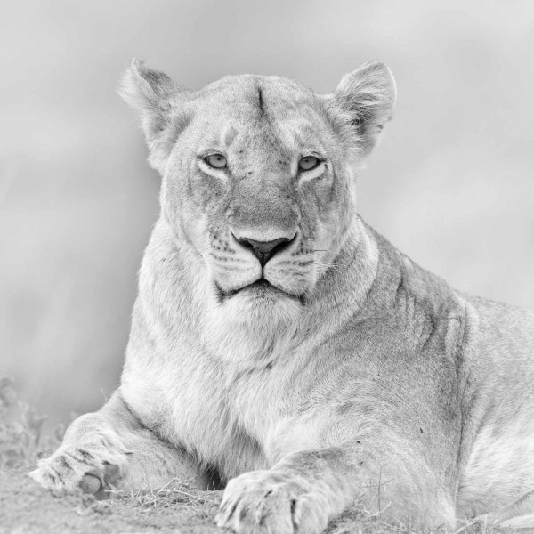 Lioness in Kenya in black and white.