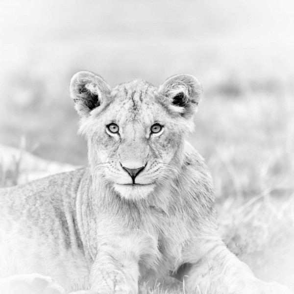 Young lion in Kenya in black and white.
