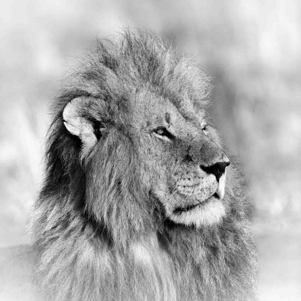Lion in Kenya in black and white.