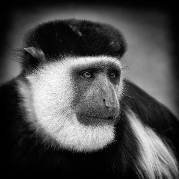 Mantled guereza in Ethiopia in black and white.