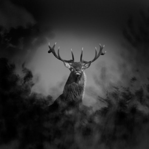 Red deer stag in France in black and white.