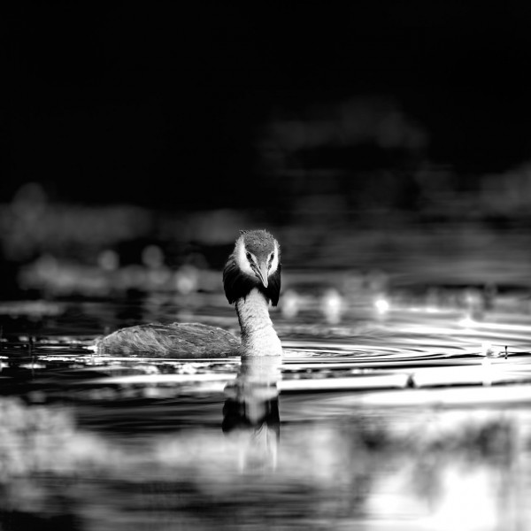 Great crested grebe in Dombes in black and white.