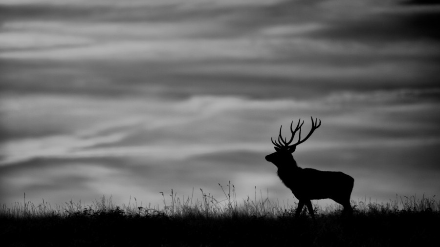 Silhouette of a red deer stag in France in black and white.