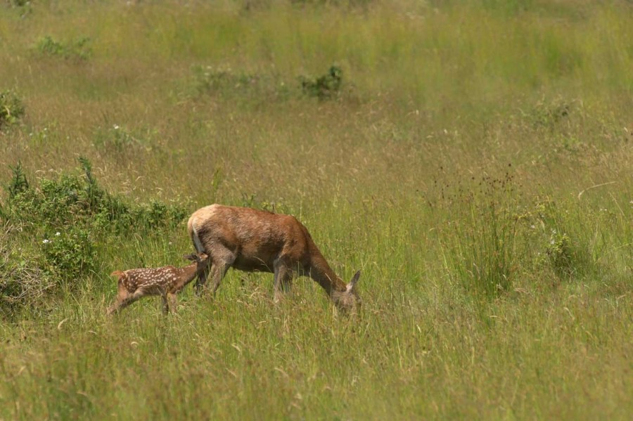 red deer doe and her fawn in open prairie grasslands of Charente-Maritime, France