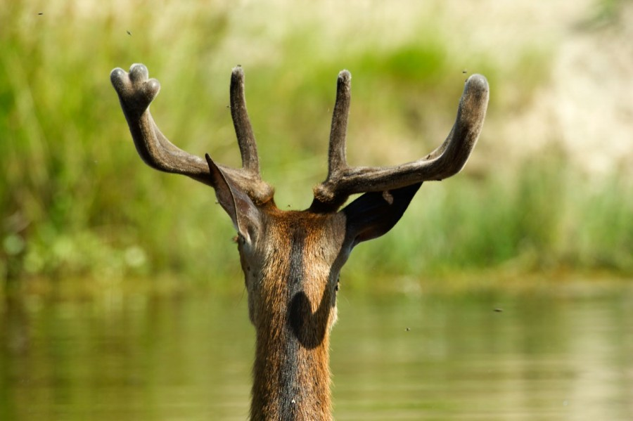red deer, european mammal, bathing, buck, stag