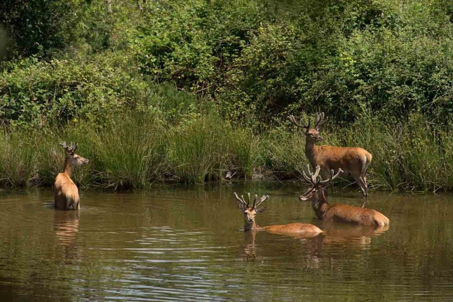 red deer bucks and does taking a bath in a pond of Charente-Maritime, France