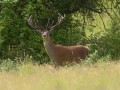 red deer in open prairie grasslands of Charente-Maritime, France