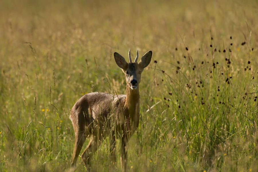western roe deer in open prairie grasslands of Charente-Maritime, France