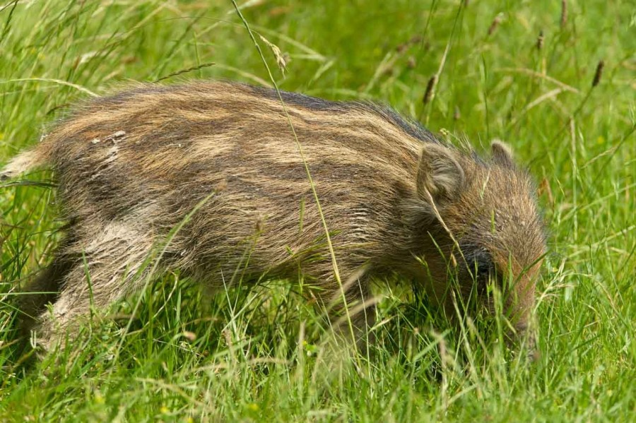 Wild boar in open prairie grasslands of Charente-Maritime, France