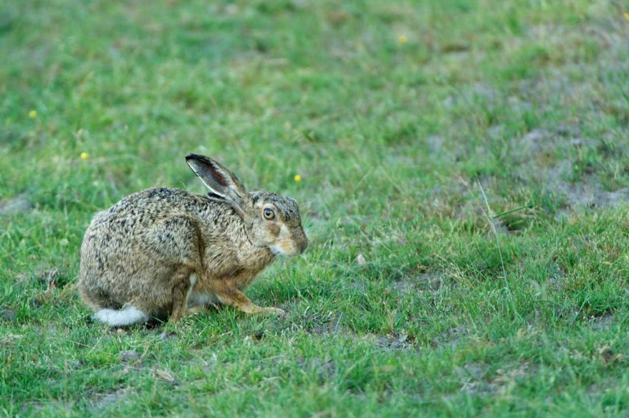 European brown hare in open prairie grasslands of Charente-Maritime, France