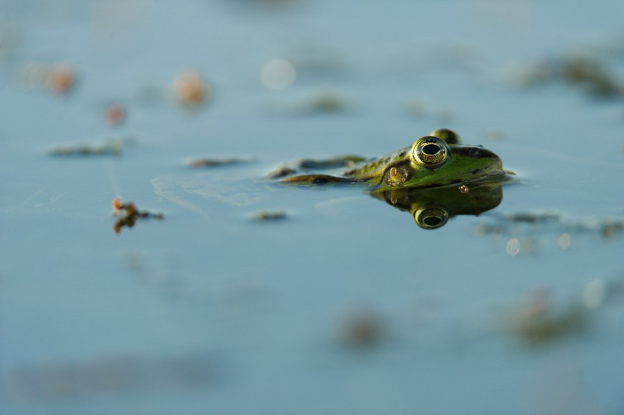 Photo taken from a floating blind in a pond in la Dombes in France.