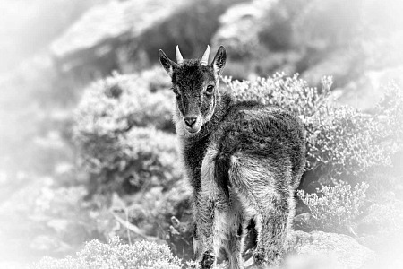 Young walia ibex photographed in black and white in Ethiopia. Photograph by Amar Guillen, photographer artist.