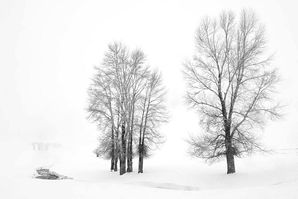 Photograph of trees surrounded by snow. The white color enhances the dreamlike aspect of the scene.