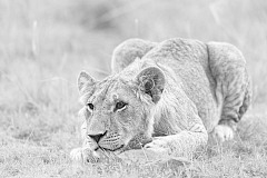 High key and black and white photograph of a lion cub in Kenya.
